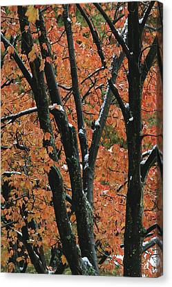 Fall Foliage Of Maple Trees After An Canvas Print by Tim Laman