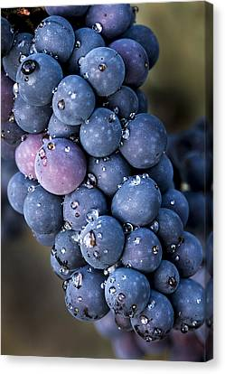 Pinot Noir Canvas Print - Fall Grapes by Jean Noren