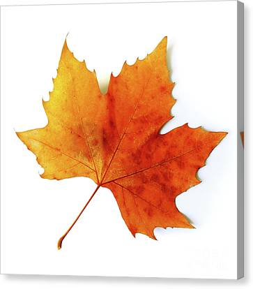 Fall Leaf Canvas Print by Carlos Caetano