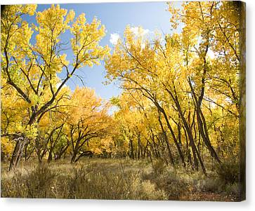 Fall Leaves In New Mexico Canvas Print by Shane Kelly