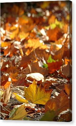 Fall Leaves Canvas Print by Ron Schwager