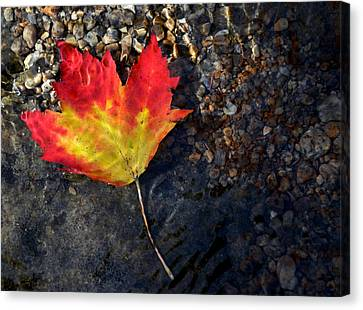 Fall Maple Leaf In Stream   Canvas Print