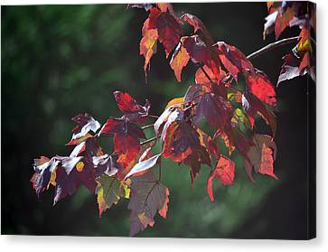 Fall Red Canvas Print by Sandi OReilly