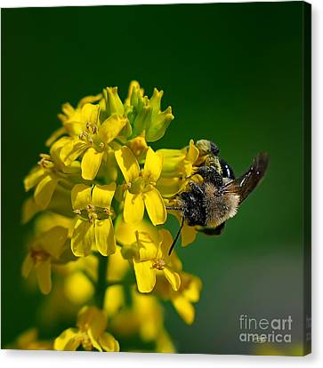 Fanfare For The Common Bumblebee Canvas Print by Lois Bryan