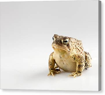 Fat Toad Canvas Print by John Crothers