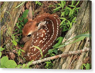 Canvas Print featuring the photograph Fawn by Doug McPherson
