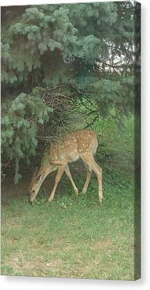 Fawn Canvas Print by Leslie Manley