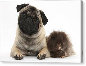 Fawn Pug Dog And Shaggy Guinea Pig Canvas Print