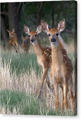 Fawns Fawns Canvas Print by Bill Stephens