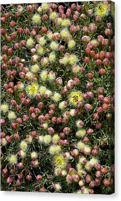 Featherflower (verticordia Brachypoda) Canvas Print by Bob Gibbons