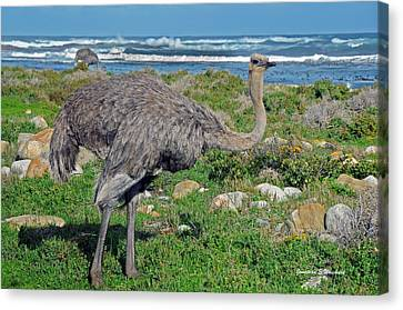 Feathers By The Sea Wild Female E African Ostrich Southern Race Cape Of Good Hope South Africa Canvas Print by Jonathan Whichard
