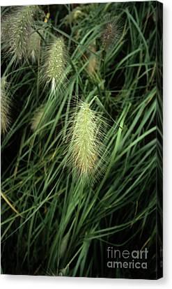Feathertop Grass (pennisetum Villosum) Canvas Print by Adrian Thomas