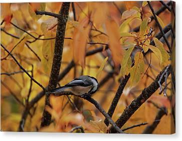 Feeding Chickadee Canvas Print