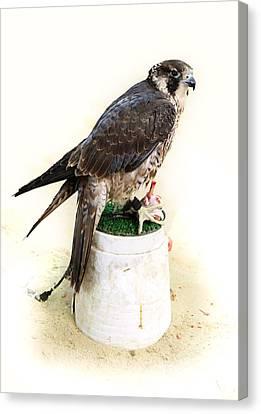Feeding Falcon Canvas Print by Paul Cowan