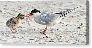 Feeding Time Canvas Print by Dave Mills