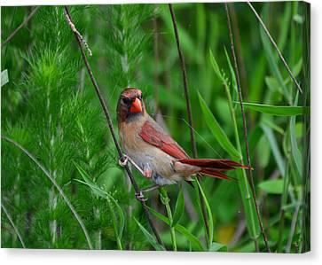 Female Cardinal - C5527a Canvas Print by Paul Lyndon Phillips