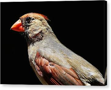 Female Cardinal Canvas Print by Paulette Thomas