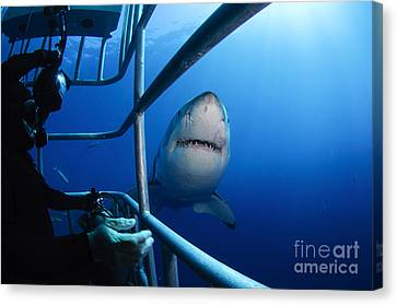 Cage Diving Canvas Print - Female Great White And Underwater by Todd Winner