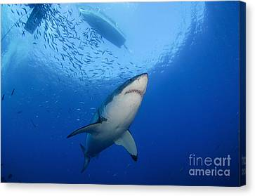 Female Great White, Guadalupe Island Canvas Print by Todd Winner