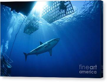 Cage Diving Canvas Print - Female Great White With Cages by Todd Winner