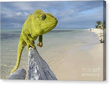 Female Oustalet's Chameleon Canvas Print by Alex Rosenfield and Photo Researchers