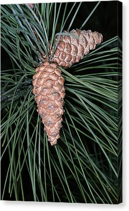 Female Pine Cones Canvas Print by Bob Gibbons