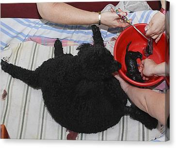 Female Poodle Gives Birth Canvas Print by Photostock-israel