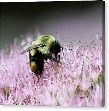 Female Worker Bumble Bee With Pollen Sack On Hen And Chick Plant Canvas Print by Suzanne  McClain