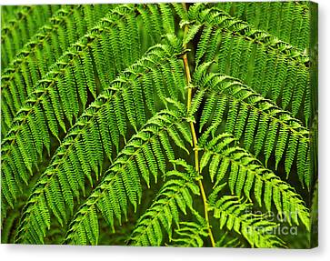 Fern Fronds Canvas Print by Carlos Caetano