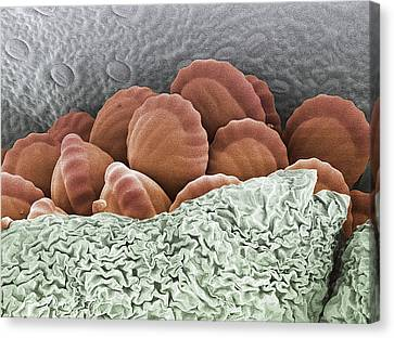 Fern Spores, Sem Canvas Print by Steve Gschmeissner