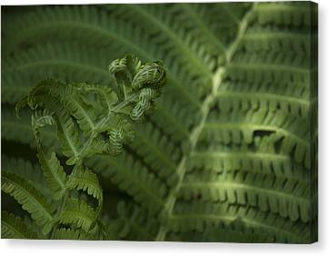Canvas Print featuring the photograph Fern Unfolding by Lisa Missenda