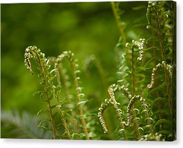 Ferns Fiddleheads Canvas Print by Mike Reid