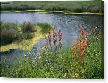 Ferns, Sedges, And Wildflowers Growing Canvas Print by Raymond Gehman