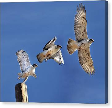Ferruginous Hawk In Flight Canvas Print by Utah-based Photographer Ryan Houston