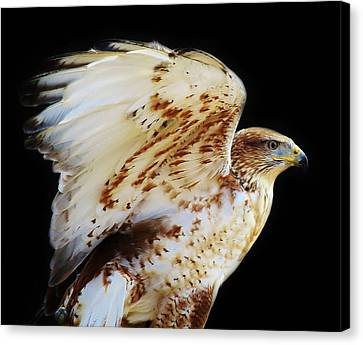 Ferruginous Hawk Canvas Print by Paulette Thomas