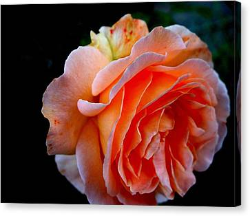 Feuerrose Canvas Print by Photo by Ela2007