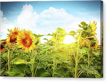 Field Of Colorful Sunflowers And Blue Sky  Canvas Print by Sandra Cunningham
