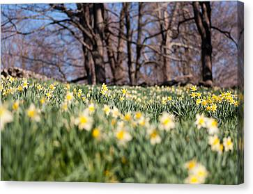Field Of Daffodils Canvas Print by Ron Smith