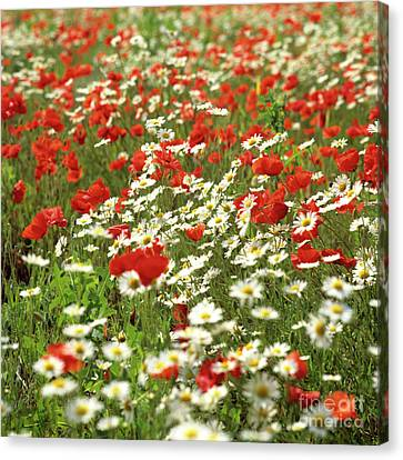 Field Of Daisies And Poppies. Canvas Print by Bernard Jaubert