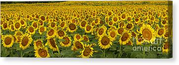 Field Of Domestic Sunflowers Canvas Print by Kenneth M Highfill and Photo Researchers
