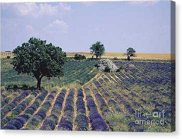 Field Of Lavender. Sault. Vaucluse Canvas Print by Bernard Jaubert