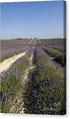 Field Of Lavender. Valensole. Provence Canvas Print by Bernard Jaubert