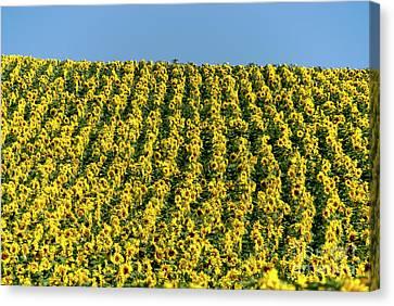 Field Of Sunflowers Canvas Print by Bernard Jaubert