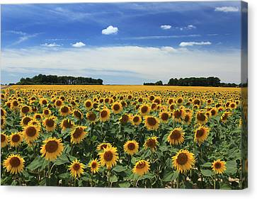 Field Of Sunflowers France Canvas Print by Pauline Cutler