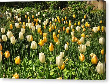 Canvas Print featuring the photograph Field Of Tulips by Helen Haw