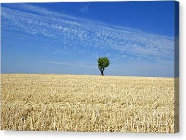 Field Of Wheat In Provence Canvas Print by Bernard Jaubert