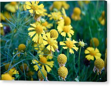 Field Of  Yellow Daisies  Canvas Print by Ester  Rogers