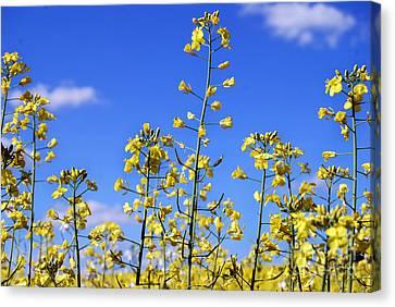 Canvas Print featuring the photograph Field Of Yellow Mustard Flowers by Alexandra Jordankova