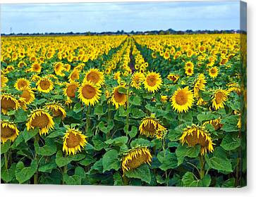 Field With Sunflowers In France Canvas Print by Www.bluemoonfotografie.nl