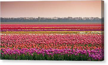 Field With Tulips Canvas Print by Hans Engbers